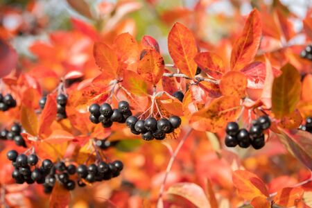 Branches with black berries and red leaves of chokeberry in autumn. Stock fotó