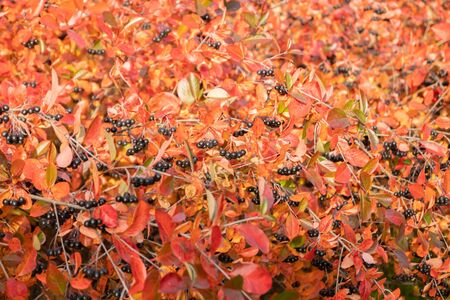 Branches with black berries and red leaves of chokeberry in autumn. Banco de Imagens