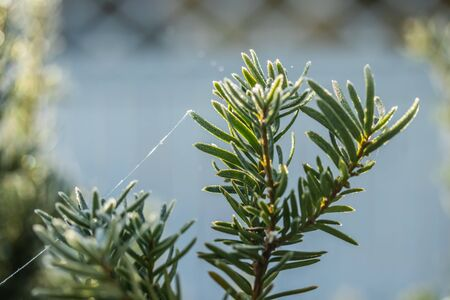 Coniferous tree needles with hoarfrost at autumn. Bokeh effect.