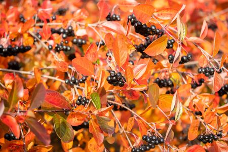 Branches with black berries and red leaves of chokeberry in autumn.