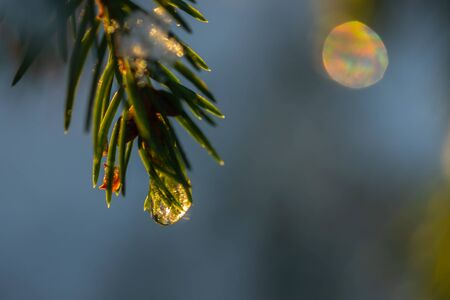Coniferous forest at winter sunrise. Spruce branches with water drop. Bokeh effect.
