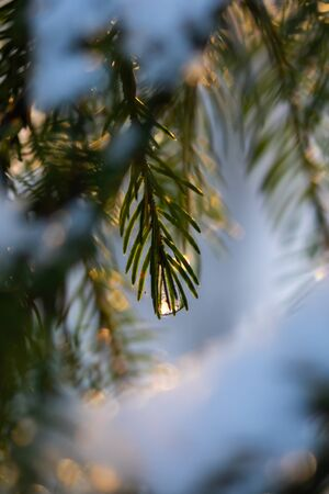 Coniferous forest at winter sunrise. Spruce branches with water drop. Bokeh effect. Stock fotó - 135179092