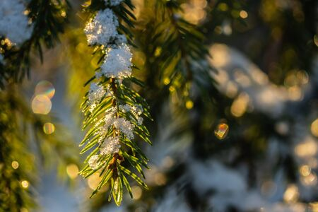 Coniferous forest at winter sunrise. Spruce branches covered with snow. Bokeh effect.
