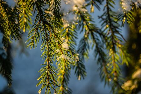 Coniferous forest at winter sunrise. Spruce branches covered with snow. Bokeh effect. Stock fotó - 135178797