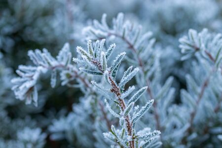 Coniferous tree needles with hoarfrost winter day. Stock fotó