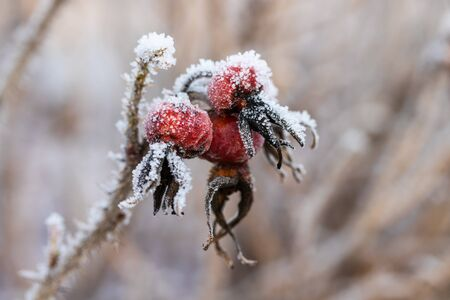 Dog rose berries covered with hoarfrost at winter sunny day.