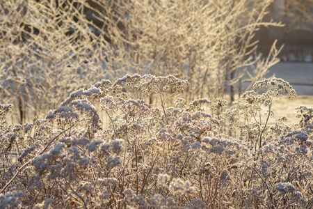 Dry grass covered with hoarfrost at winter sunny day. Stock fotó