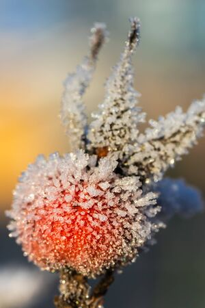 Dog rose berry covered with hoarfrost at winter sunny day. Stock fotó