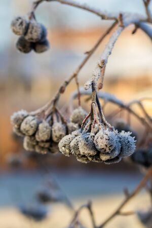 Chokeberry covered with hoarfrost at winter sunny day.
