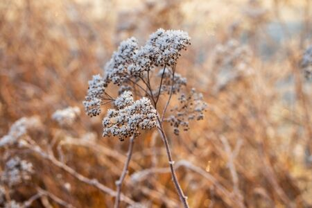 Dry plant covered with hoarfrost at winter sunny day. Stock fotó