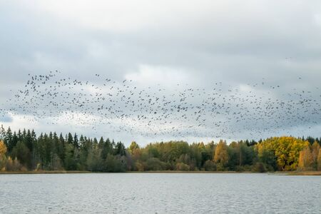 A big flock of barnacle gooses is flying above the river Kymijoki. Birds are preparing to migrate south.