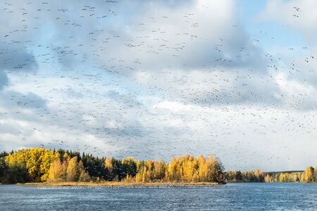 A big flock of barnacle gooses is flying above the river Kymijoki and sitting on water. Birds are preparing to migrate south. Banco de Imagens
