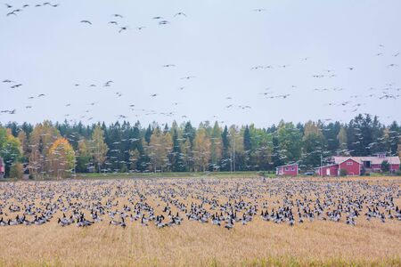 A big flock of barnacle gooses -Branta leucopsis are sitting on a field and flying above it. Birds are preparing to migrate south. October 2018, Finland Banco de Imagens