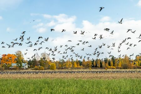 A big flock of barnacle gooses is flying above the field. Birds are preparing to migrate south. 版權商用圖片