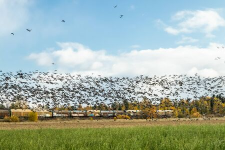 Kouvola, Finland - 5 October 2019: A big flock of barnacle gooses is flying above the field on train background. Birds are preparing to migrate south. 新聞圖片