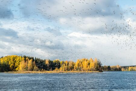 A big flock of barnacle gooses is flying above the river Kymijoki and sitting on water. Birds are preparing to migrate south. Stock fotó