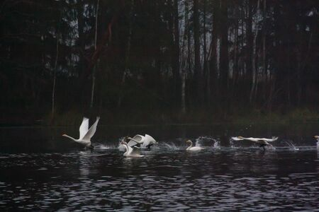 Blurred photo of autumn dark landscape on a foggy river with a white flying up swans. Finland, river Kymijoki