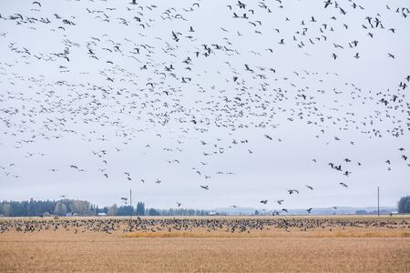 A big flock of barnacle gooses -Branta leucopsis are sitting on a field and flying above it. Birds are preparing to migrate south. October 2018, Finland Stock fotó