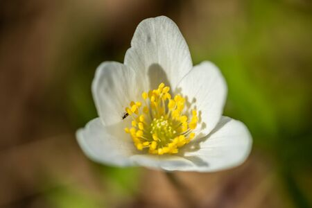 Close-up of white wood anemone and burred background. Spring in Finland. Anemone nemorosa. Фото со стока