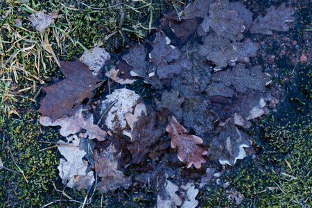 Oak leaves frozen in a icy puddle in spring