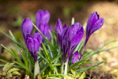 Violet beautiful crocuses with raindrops in early spring garden. Soft selective focus.