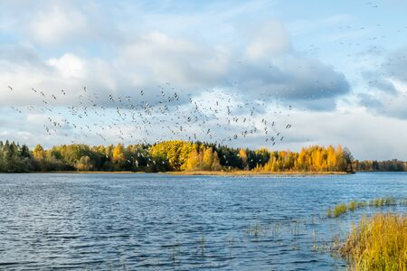 A big flock of barnacle gooses is flying above the river Kymijoki and sitting on water. Birds are preparing to migrate south. Imagens