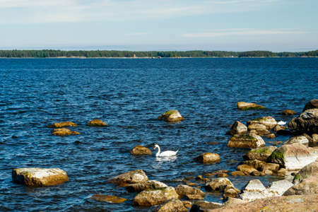 The white swan swimming near the seashore at the Finnish Gulf of the Baltic Sea