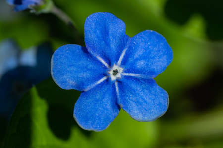 Forget-me-not flowers in spring garden, macro photography