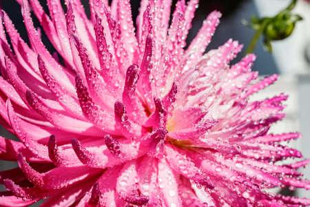 Pink dahlia flower with raindrops growing in the garden Stock fotó