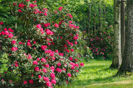 Bush with pink rhododendron flowers in the park, Finland Standard-Bild