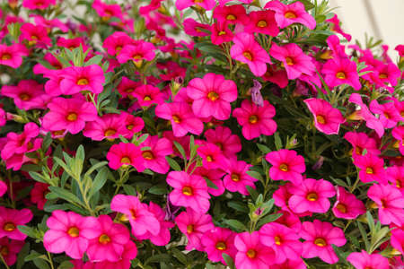 Calibrachoa or bell flower, Flower of a cultivated Million bell, Calibrachoa x hybrid