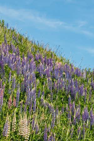 Blue lupine flowers at summer Stock fotó