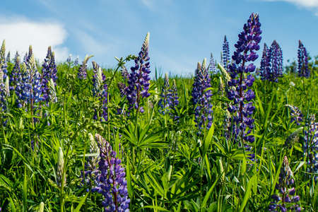 Lupine field with blue flowers at summer Stock fotó