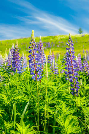 Ski slope with blue lupine flowers at summer