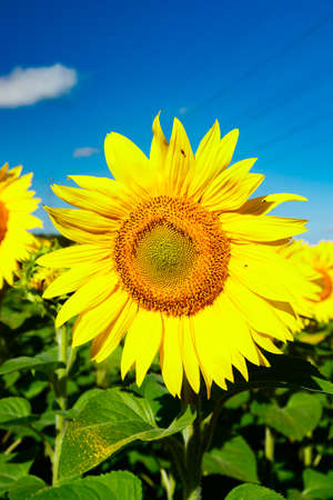 Blooming sunflower on a background of blue sky Stock fotó