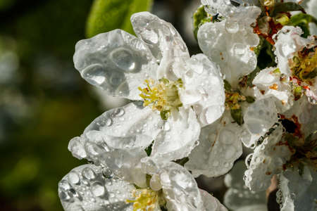 Apple blossom with raindrops in the garden on spring