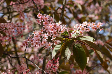 Flowers of bird cherry in park at spring. Stock fotó