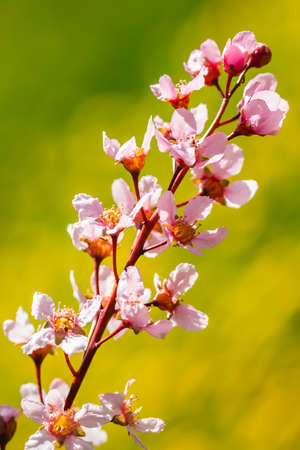 Flowers of bird cherry in park at spring. Banque d'images