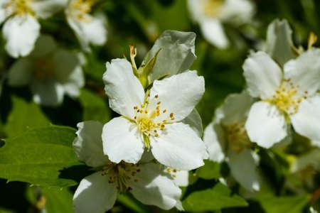 Beautiful white jasmine flowers in a garden