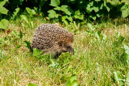 West european hedgehog on a green meadow
