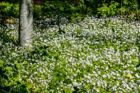 White wildflowers of Claytonia sibirica in shady forest