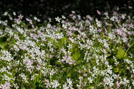 Background of white wildflowers of Claytonia sibirica in shady forest