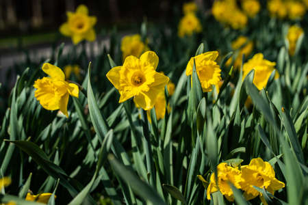 A yellow narcissus flowers and green leaves at spring