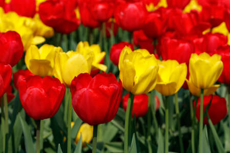 Field with beautiful red and yellow tulip flowers