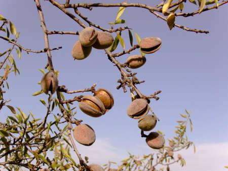 Almond- pearl of Algarve Stock Photo