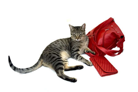 Striped cat with red bag and purse isolated on white background Stock Photo