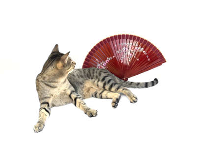 The striped cat is looking on the red fan isolated on white