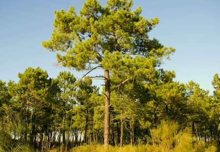 Sunset in a pine forest in Algarve, Portugal