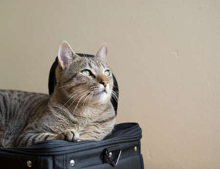 The striped cat on the black bag Stock Photo