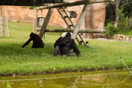 Gorilla is sitting